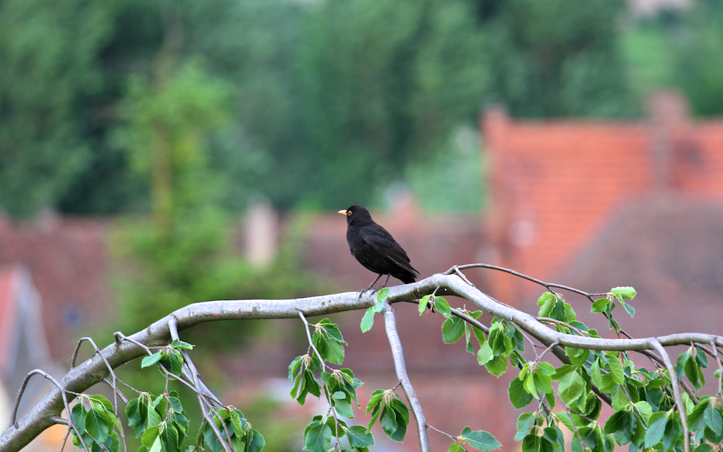 -- amsel, blackbird, vogel, plumage, lauffen, lauffen am neckar, in front of window, vor dem fenster,